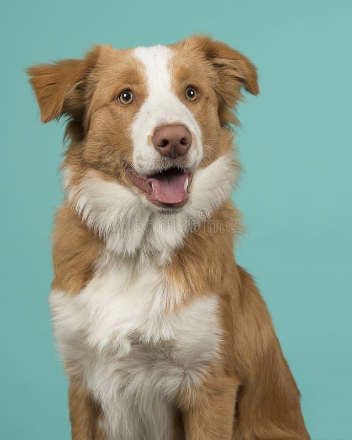 Retrato de un perro rojo del border collie que mira lejos con la boca abierta fotografía de archivo