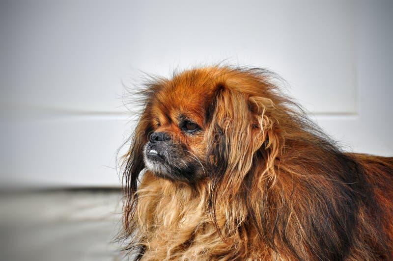 Retrato de un perro rojo lanudo muy triste del pekinés foto de archivo