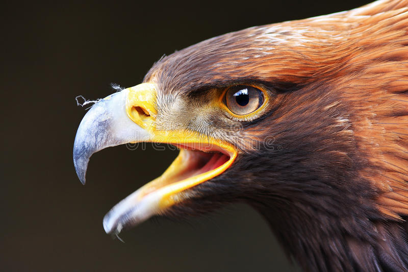 Águila del retrato imagen de archivo libre de regalías