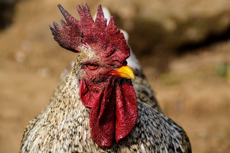 Retrato de un pollo blanco fotos de archivo