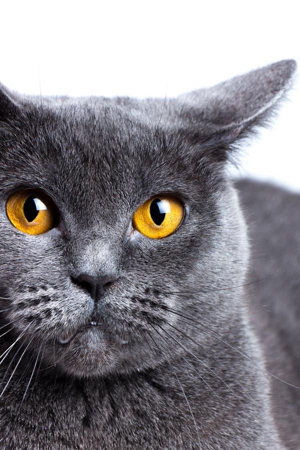 Retrato de un primer británico del gato de Shorthair fotos de archivo