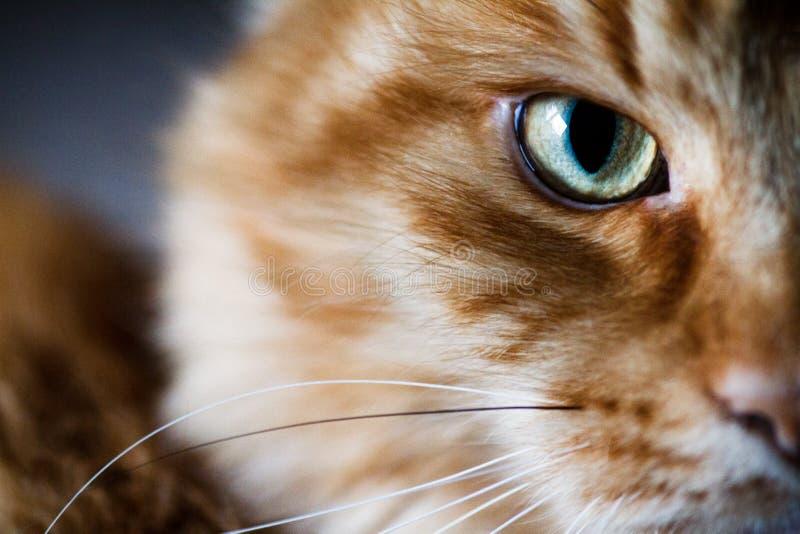 Retrato de un primer del gato Primer del gato del jengibre imágenes de archivo libres de regalías