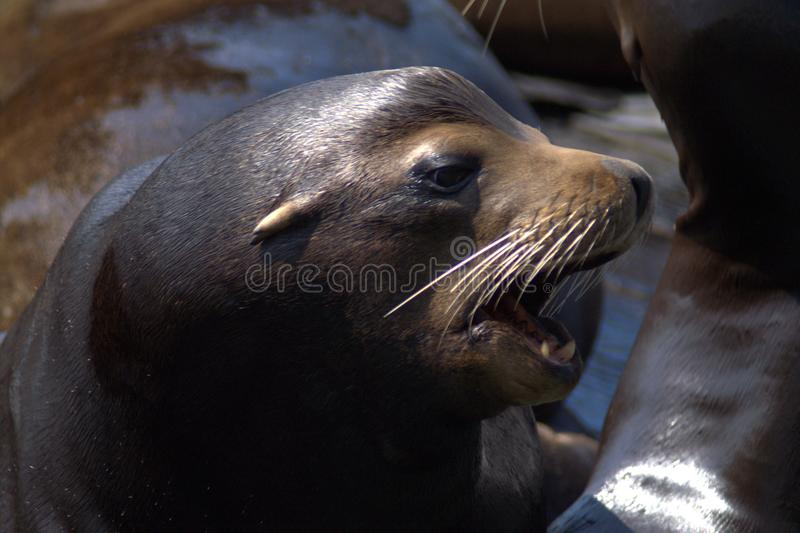 Retrato de un primer del lobo marino en perfil imágenes de archivo libres de regalías
