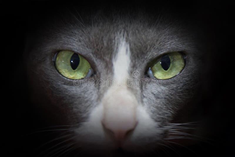 Retrato de un primer hermoso del gato de Chartreux foto de archivo libre de regalías