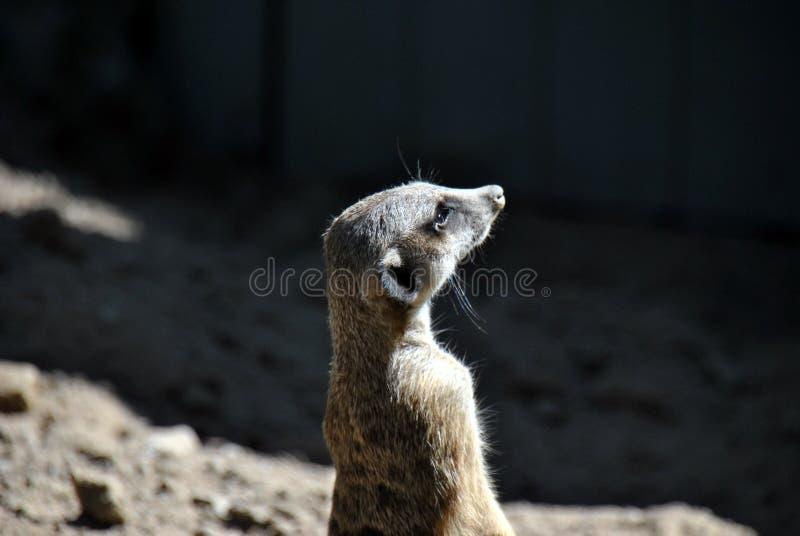 Retrato de un puesto de observación del meerkat foto de archivo libre de regalías
