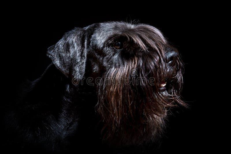 Retrato de un schnauzer estándar negro con el fondo negro fotos de archivo