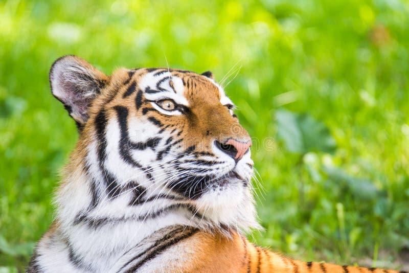 Retrato de un tigre siberiano foto de archivo