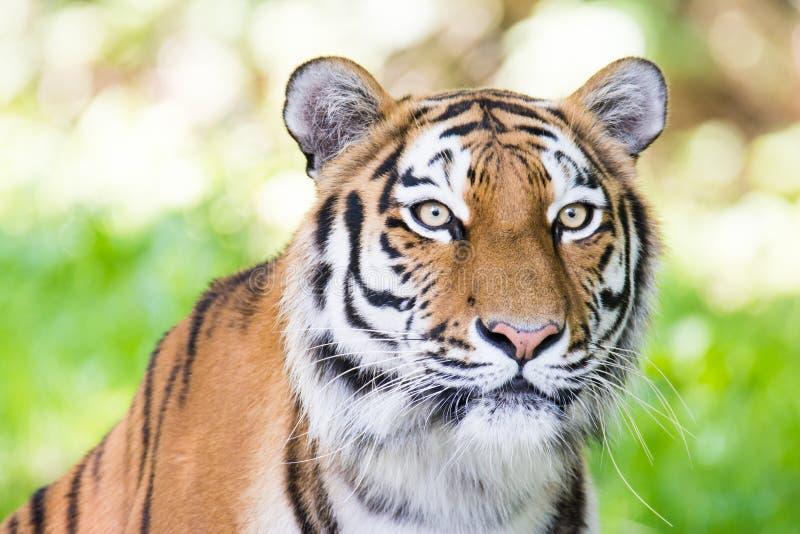 Retrato de un tigre siberiano imagen de archivo