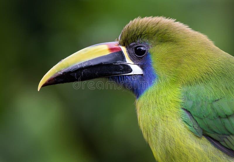 Retrato de un toucanet esmeralda imágenes de archivo libres de regalías