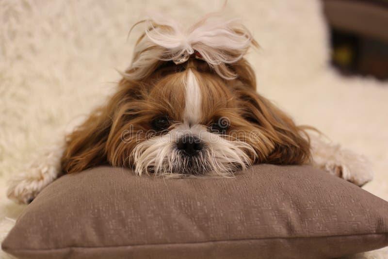 Retrato de un tzu lindo del shih del perro de perrito con el arco que miente en un sofá en casa imagen de archivo libre de regalías