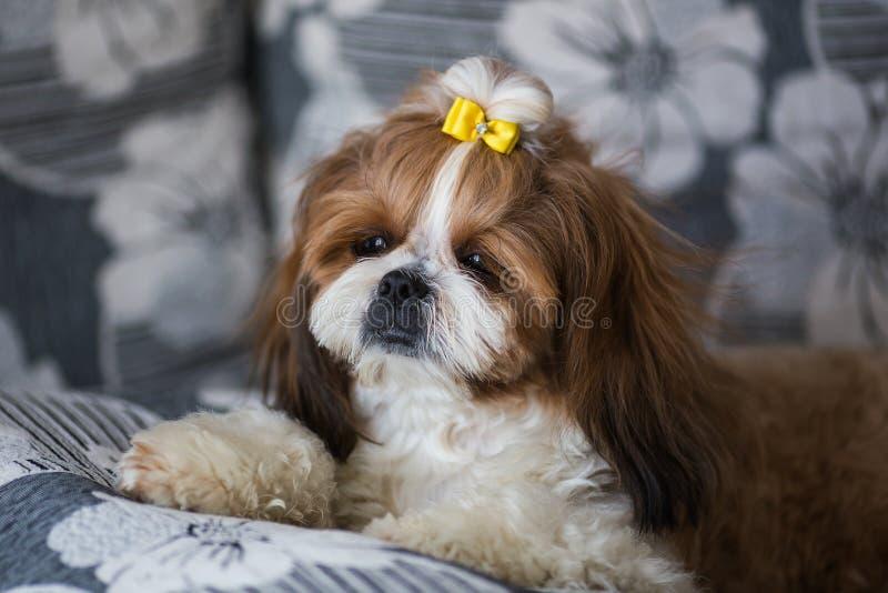 Retrato de un tzu lindo del shih del perro de perrito con el arco que miente en un sof? en casa fotos de archivo libres de regalías
