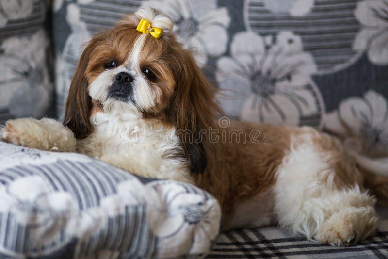 Retrato de un tzu lindo del shih del perro de perrito con el arco que miente en un sof? en casa imagenes de archivo