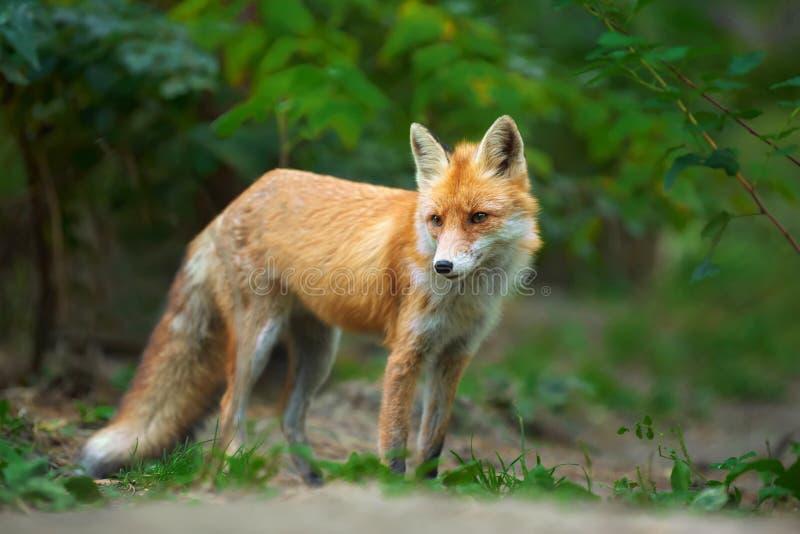Retrato de un vulpes del Vulpes del zorro rojo fotos de archivo libres de regalías