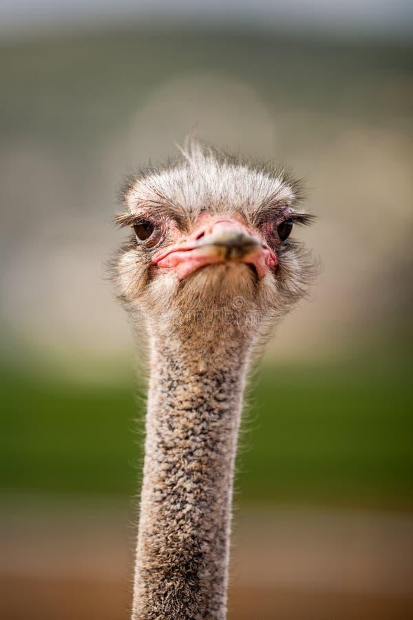 Retrato de una avestruz, cierre para arriba fotos de archivo libres de regalías