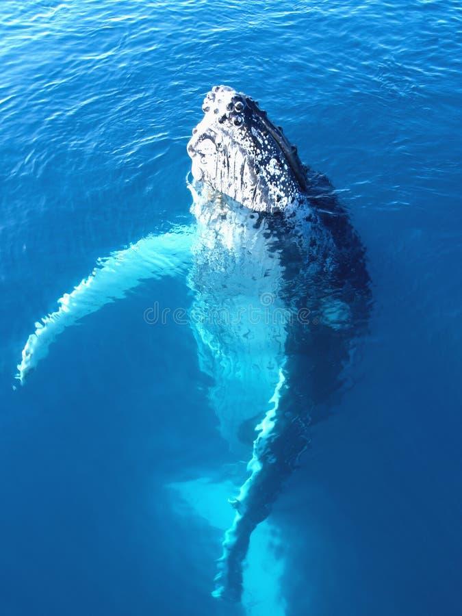 Retrato de una ballena de humpback majestuosa imagen de archivo