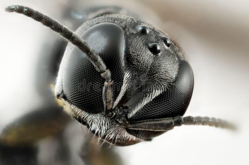 Retrato de una cabeza de un pequeño insecto negro imágenes de archivo libres de regalías