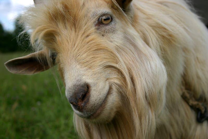 Retrato de una cabra fotos de archivo libres de regalías