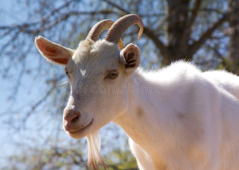 Retrato de una cabra fotografía de archivo