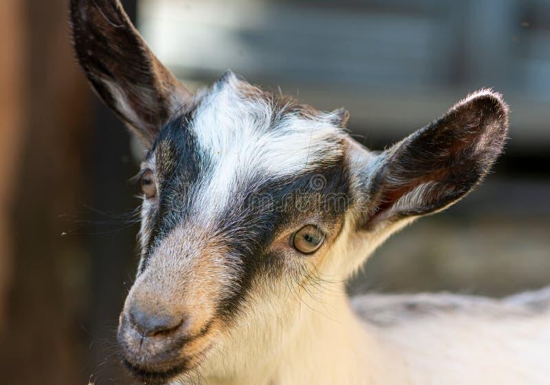 Retrato de una cabra joven linda en el prado Animal del campo en el pueblo imagen de archivo