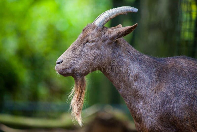 Retrato de una cabra masculina alemana con una barba larga fotos de archivo