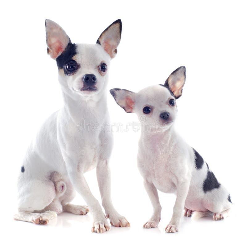 Chihuahua del perrito y del adulto imagen de archivo