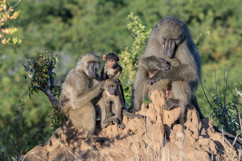 Retrato de una familia del babuino de chacma imagenes de archivo