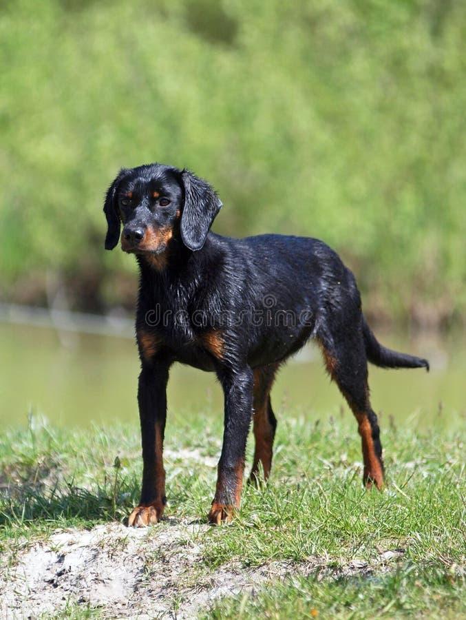 Retrato de una hembra joven del perro eslovaco foto de archivo libre de regalías