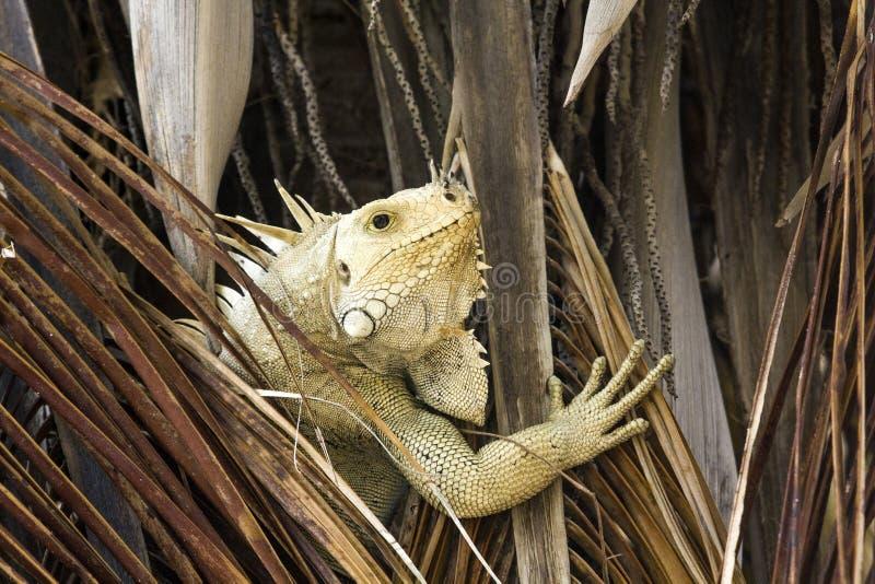 Retrato de una iguana de la iguana del verde o de la iguana común que oculta en una palmera del coco Isla de palma, San Vicente y imagen de archivo