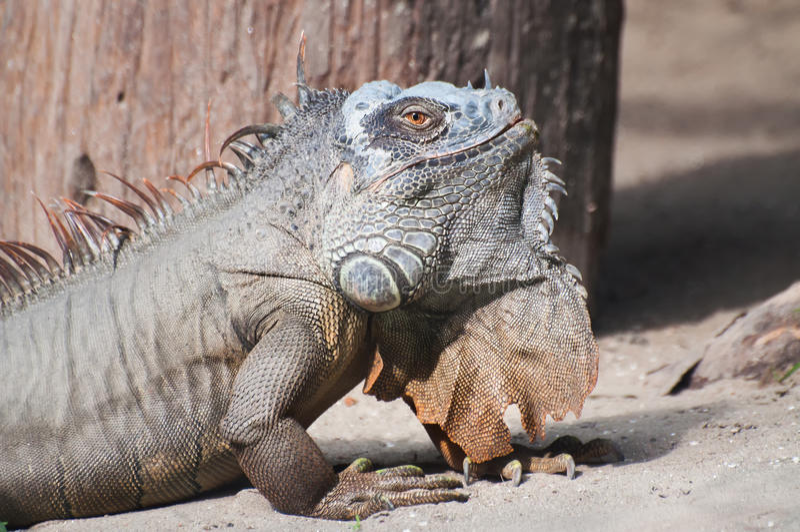 Retrato de una iguana que se sienta en la tierra en luz del día, Kolkata, Bengala Occidental, la India fotos de archivo