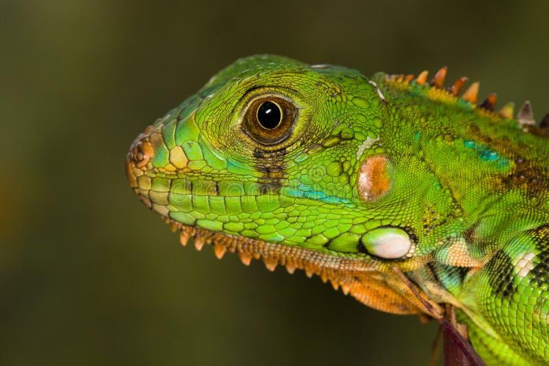 Retrato de una iguana verde joven foto de archivo