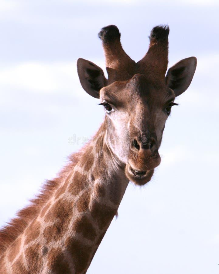 Retrato de una jirafa africana fotografía de archivo libre de regalías