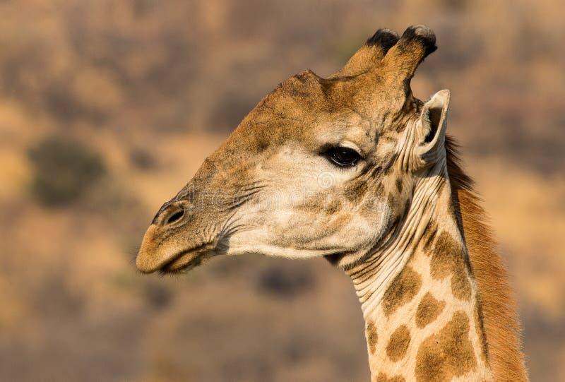 Retrato de una jirafa Suráfrica admitida fotografía imágenes de archivo libres de regalías