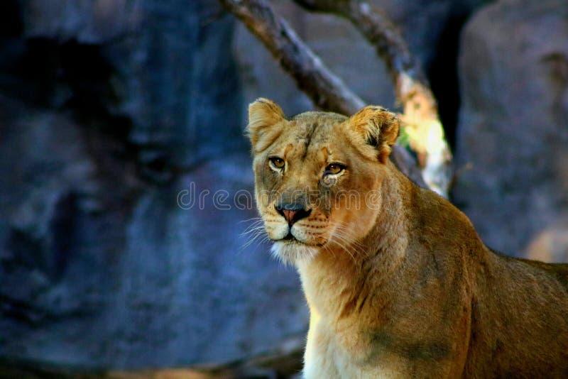 Retrato de una leona imagen de archivo