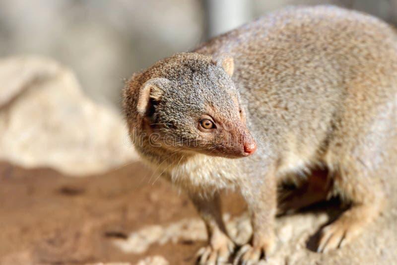 Retrato de una mangosta enana imagen de archivo libre de regalías