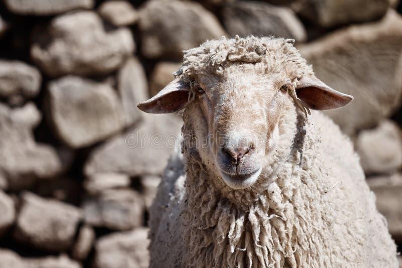 Retrato de una oveja delante de un fondo de la pared de piedra foto de archivo libre de regalías