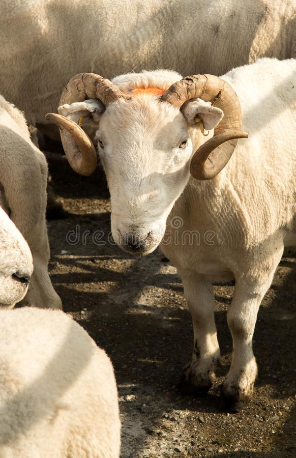 Retrato de una oveja gruñona vieja Ram At Livestock Market In Escocia foto de archivo libre de regalías