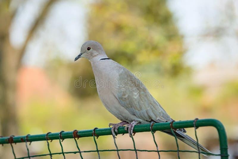 Retrato de una paloma gris de color eurasiático fotos de archivo libres de regalías