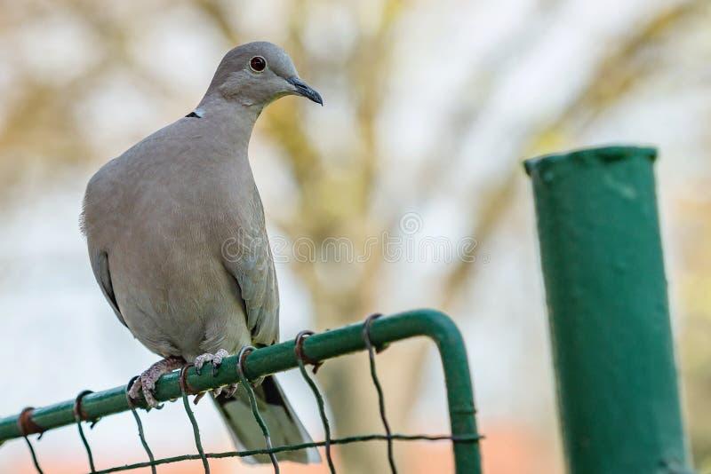 Retrato de una paloma gris de color eurasiático fotografía de archivo