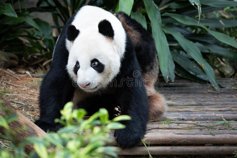 Retrato de una panda blanco y negro foto de archivo libre de regalías