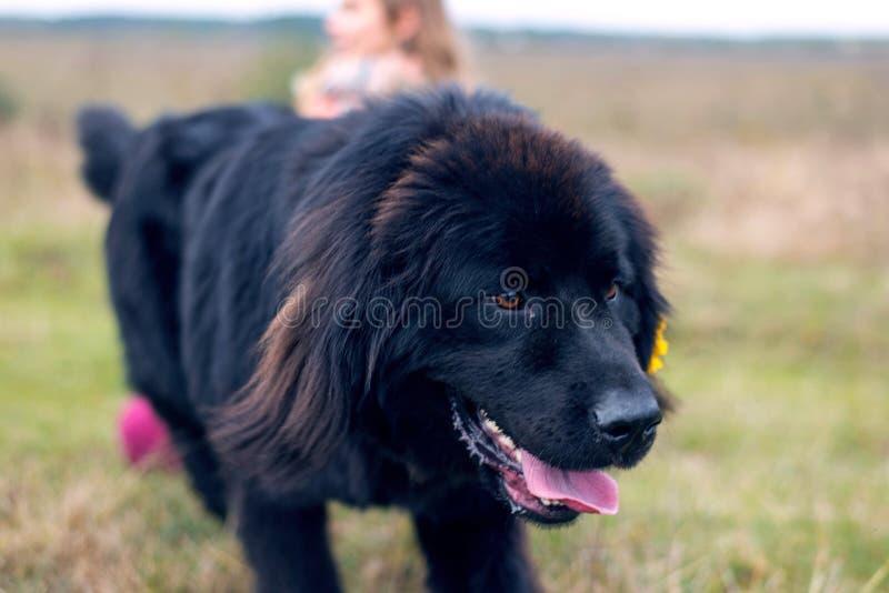 Retrato de una raza Terranova del perro fotografía de archivo libre de regalías