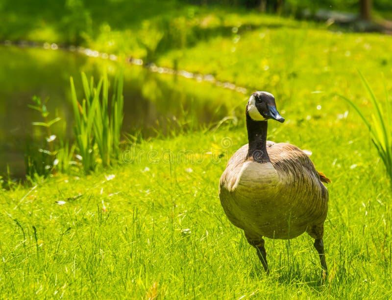 Retrato de una situación del ganso de Canadá en la hierba en el lado del agua, especie común del primer del pájaro de América fotos de archivo