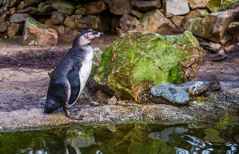 Retrato de una situación del pingüino de Humboldt en el lado del agua, pájaro acuático de la Costa del Pacífico, especie animal a imagen de archivo
