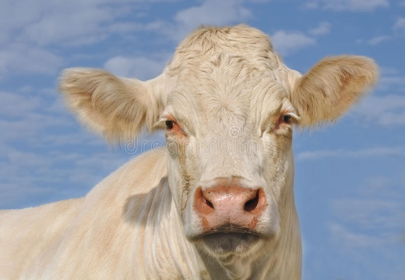Retrato de una vaca de Charolais fotos de archivo