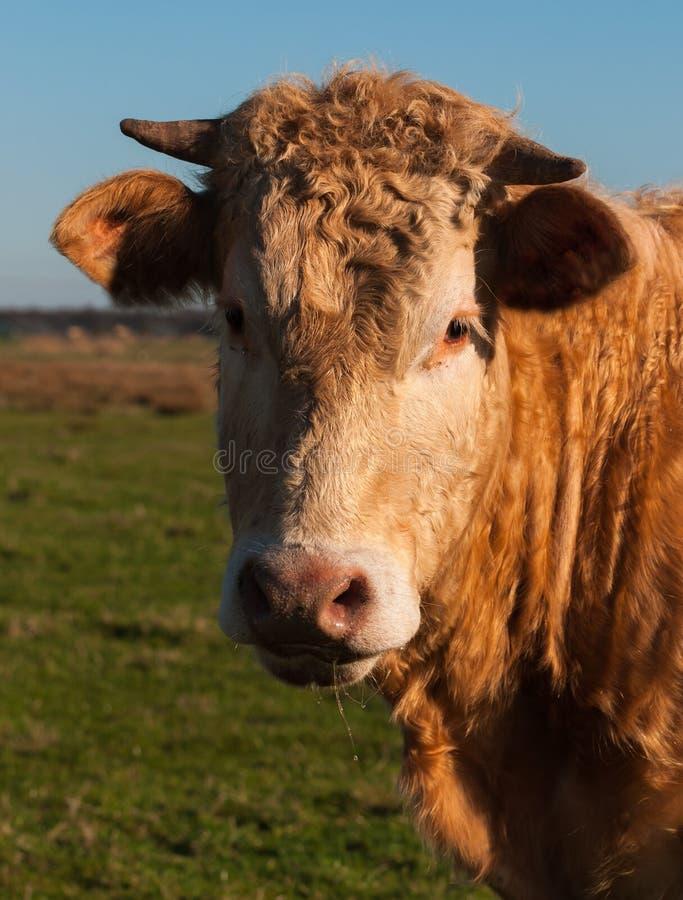 Retrato de una vaca marrón con los claxones foto de archivo