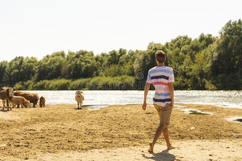 Retrato de vacas sheeping do fazendeiro masculino farpado considerável novo no campo s do verão foto de stock