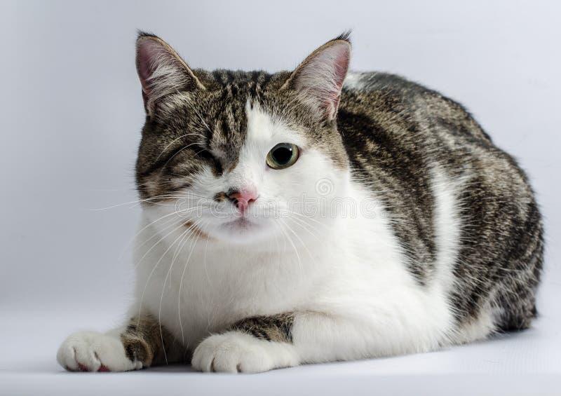 Retrato deficiente dos animais de um gato com um só olho fotos de stock