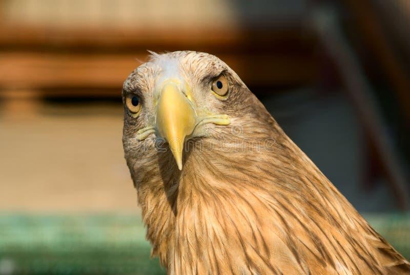 Retrato del águila fotografía de archivo