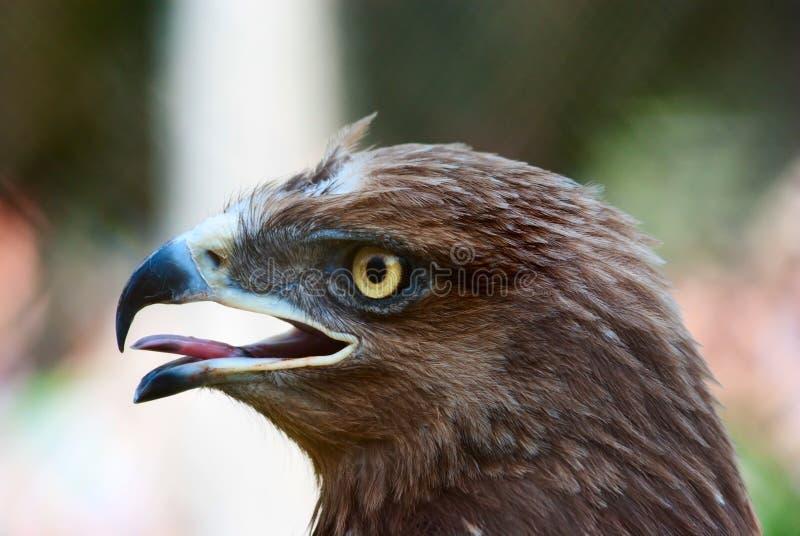 Retrato del águila fotos de archivo libres de regalías