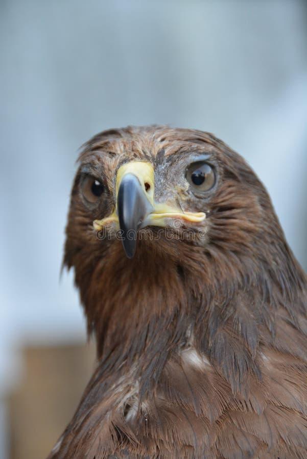 Retrato del águila foto de archivo