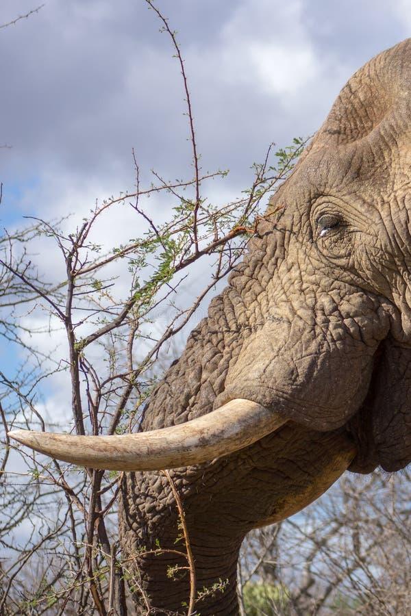 Retrato del africana del Loxodonta del elefante africano fotos de archivo libres de regalías